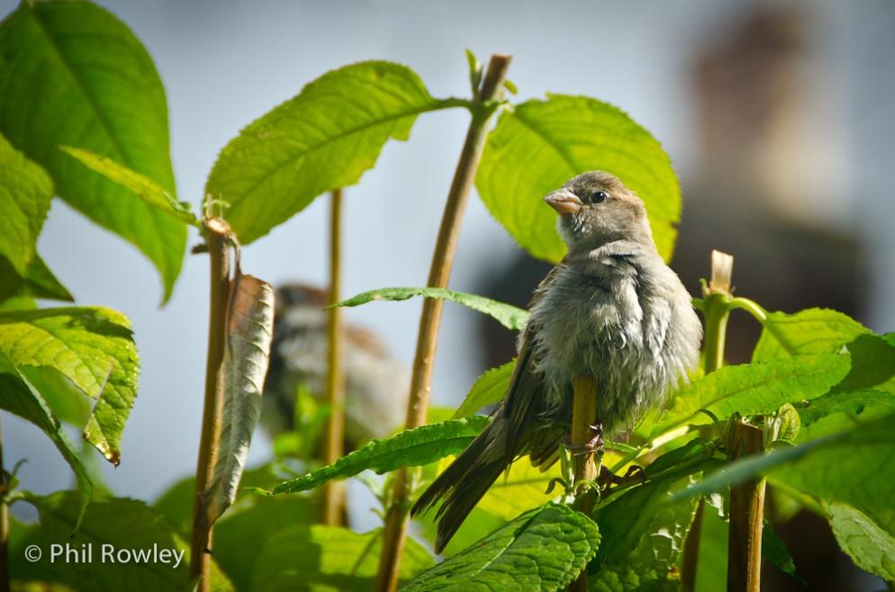 Scraggy Sparrow