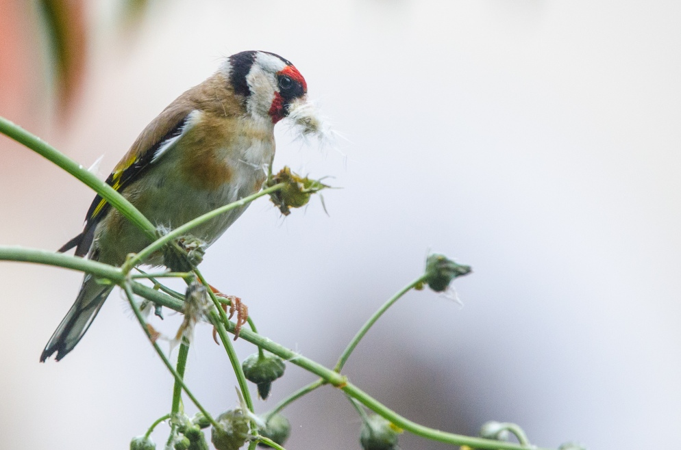 Goldfinch gathering nesting material from a weed.