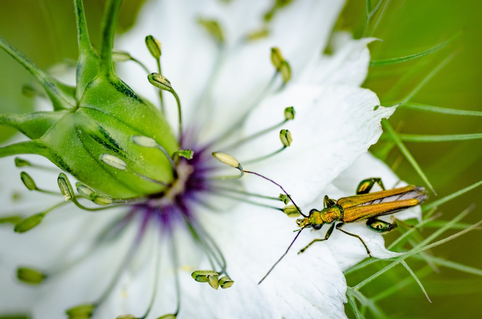 Bug on Nigella Plant
