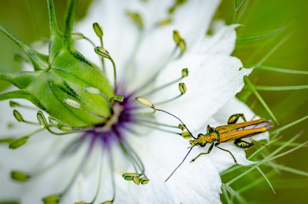 Bug on Nigella Plant